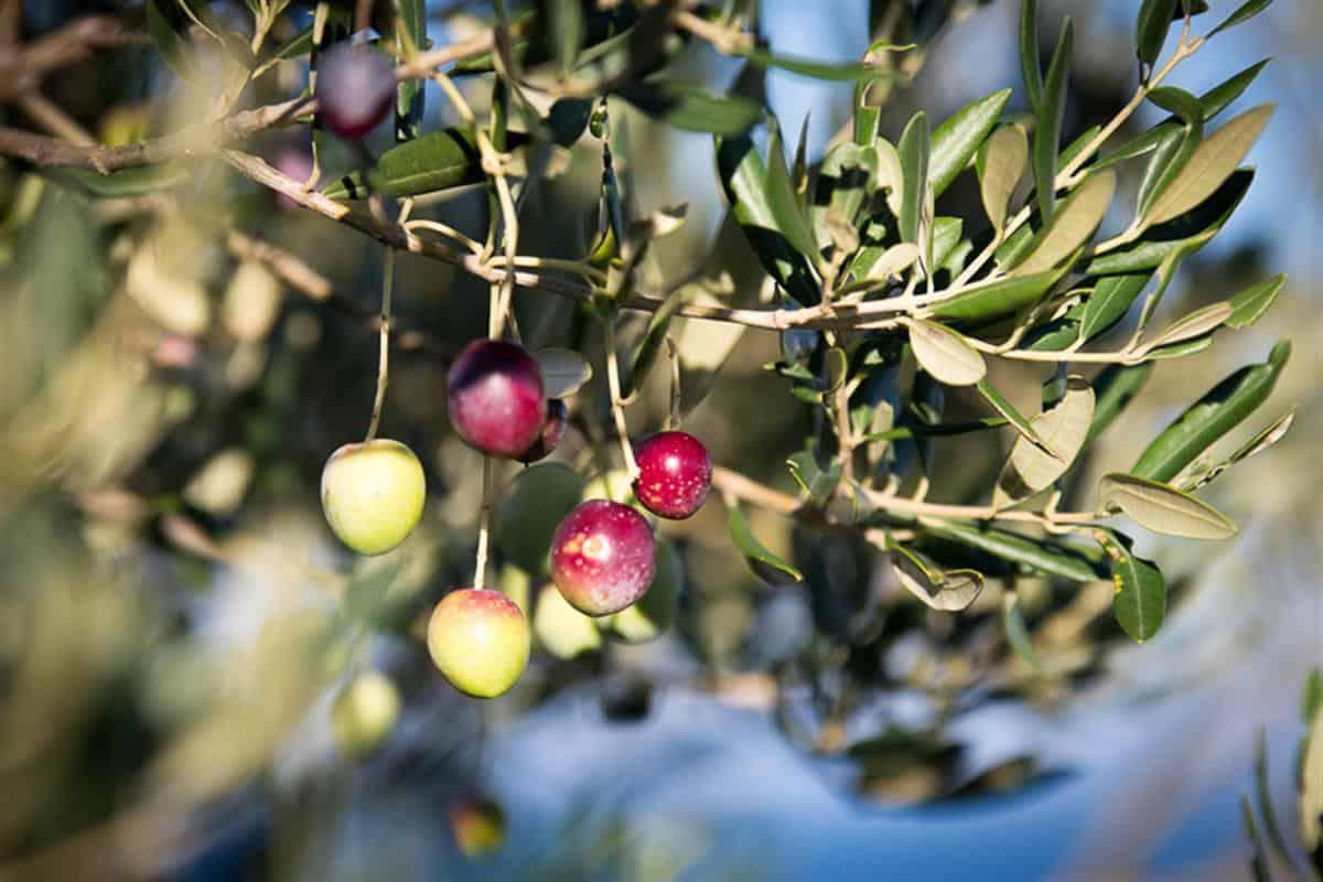 Oliwa z oliwek - złoto Chorwacji
