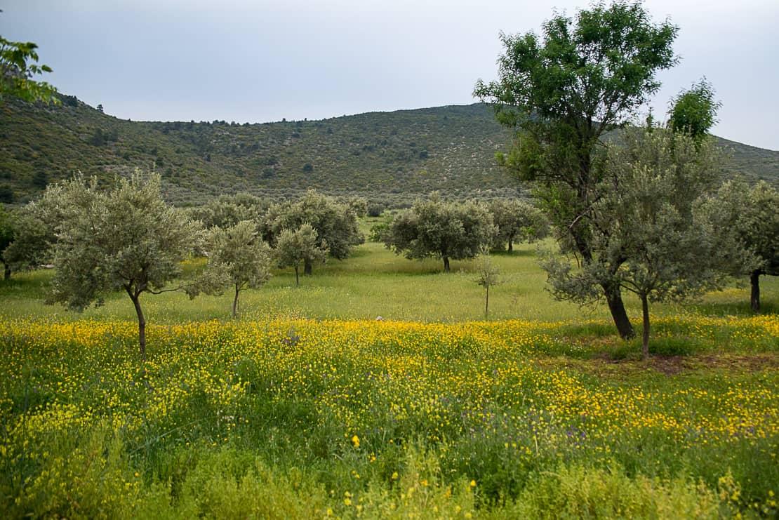 Gaje oliwne na półwyspie Methana