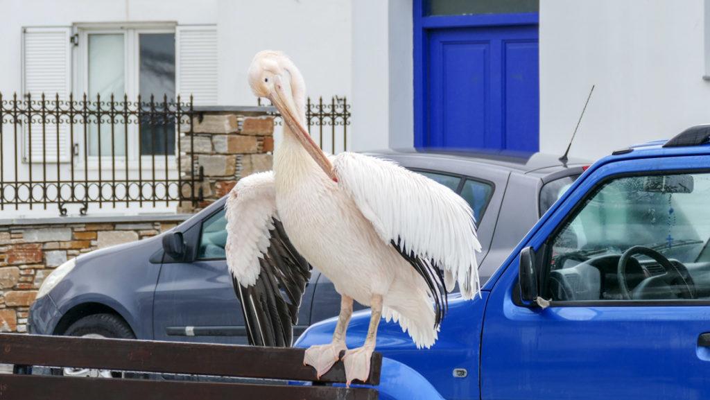 Pelikan z Tinos