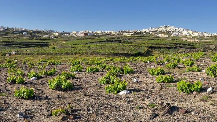 uprawa winoroślina Santorini